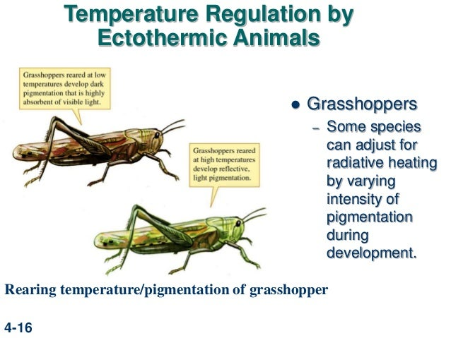 an analysis of ectothermic and endothermic animals the metabolism and heat Metabolic rate (mr) in response to cold and hot mr of ectotherm follows the  metabolic heat  and the animal's body temp fell metabolic rate body temp (°c.