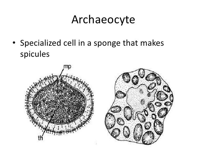 Archaeocytes