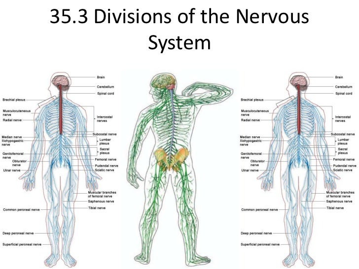 35.3 Divisions of the Nervous System<br />
