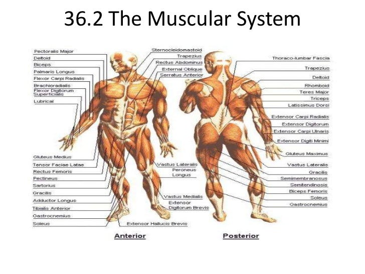 36.2 The Muscular System<br />