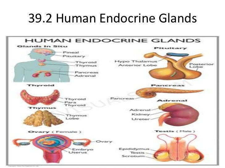 39.2 Human Endocrine Glands<br />