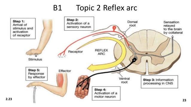 Biology b1 revisioncards b1 topic 2 reflex arc 223 23 ccuart Choice Image