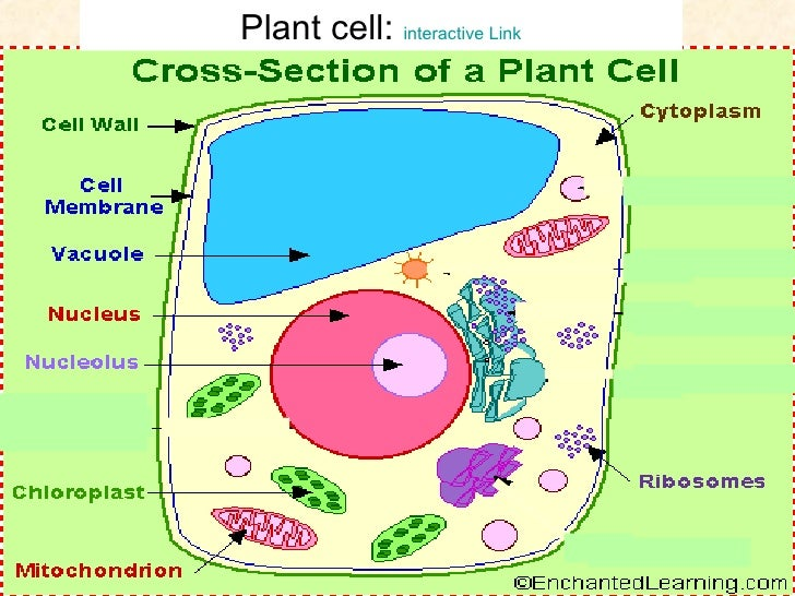 Worksheets Introduction To Biology Worksheet biology cells an introduction to cell with diagrams plant interactive link