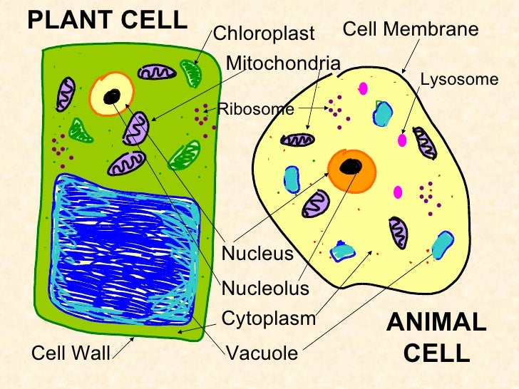 Biology & cells An introduction to cell biology, with ...