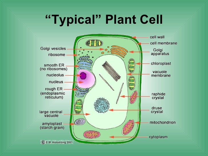 Typical Plant Cell Diagram Labeled Wiring Library