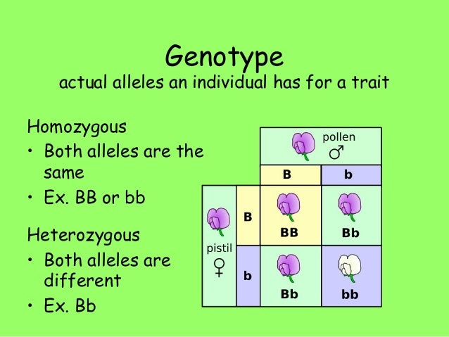 genotype definition - photo #13
