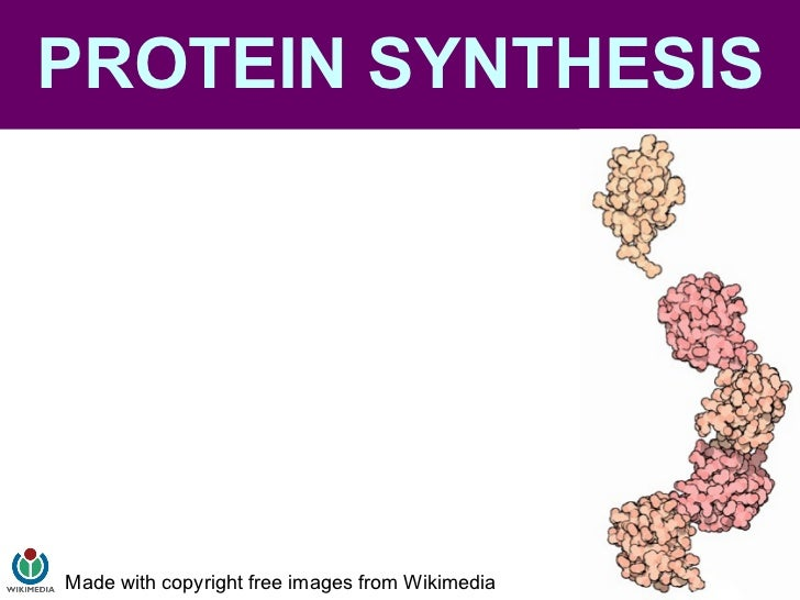 PROTEIN SYNTHESIS Made with copyright free images from Wikimedia