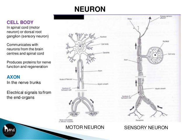 Biology of nerve injury and repair