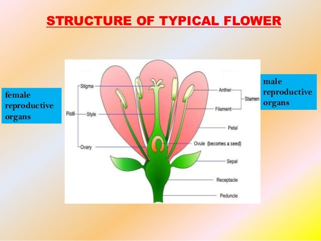 Asexual and sexual reproduction in flowers