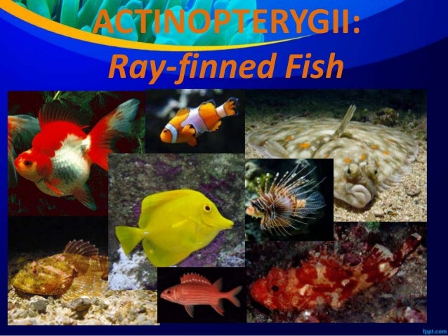 Class actinopterygii and class sarcopterygii for Bony fish characteristics