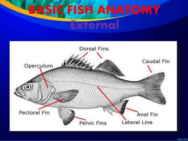 Class Actinopterygii and Class Sarcopterygii