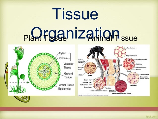 biology report tissues Introduction to histology the relationship between the function of cells and organs is reflected in the organisation of tissues, visualised under the microscope hence histology supports the study of cell biology at all levels.