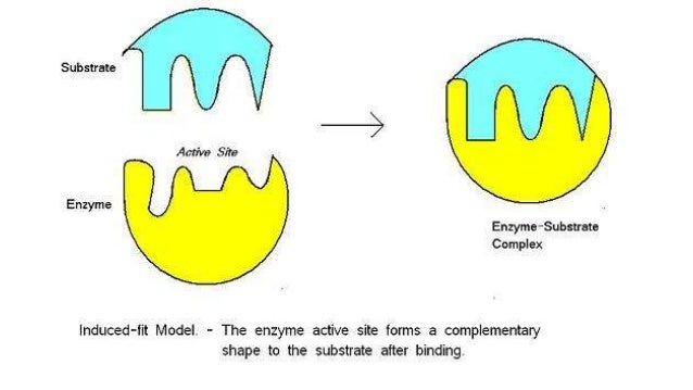 Biology Unit 1 Notes: Enzymes
