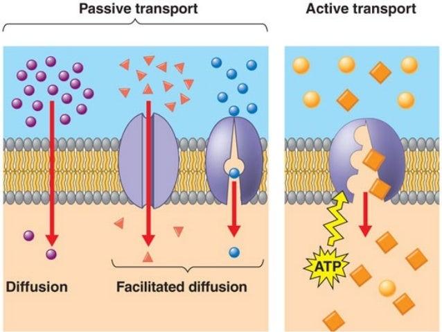 Biology unit 2 cells cell membrane transport notes