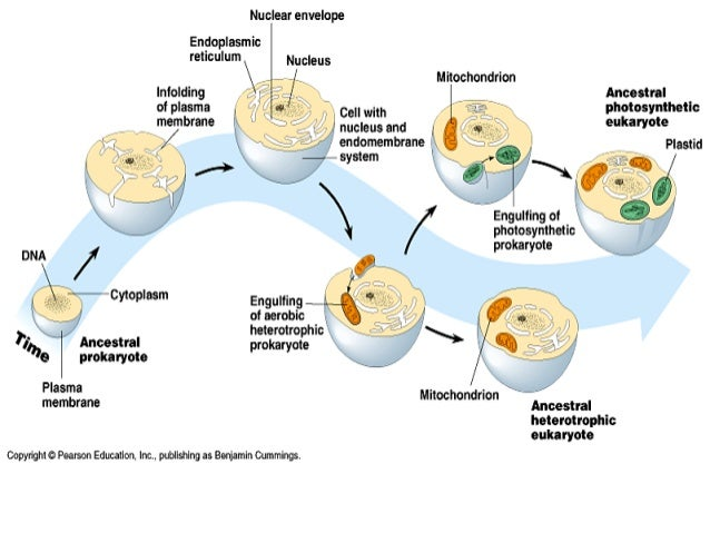 the endosymbiont hypothesis and the evolution The impossibility of plant cells' having evolved from a bacterial cell has not  the  endosymbiosis hypothesis is based on the fact that the mitochondria of animal.