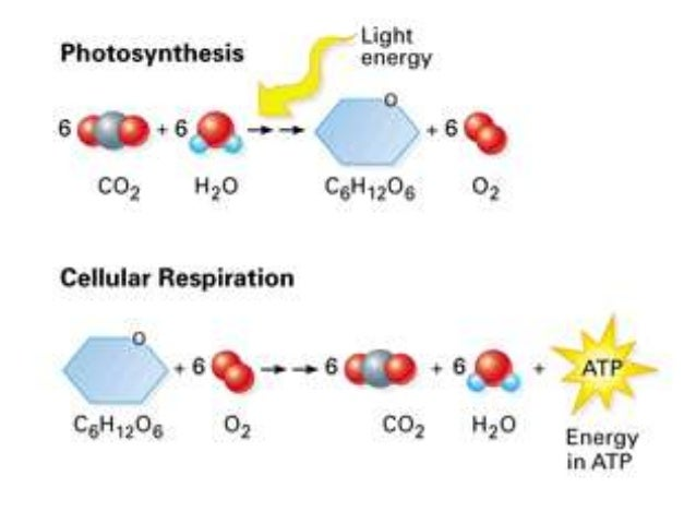 articles on cellular respiration and photosynthesis relationship