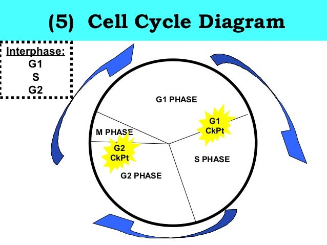 the cell cycle notes Organelles, cytoskeleton, and cell cycle major areas in genetics and molecular biology include viruses,  gre ® biology test practice book.