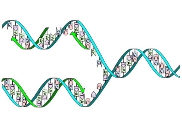 dna rna notes The nucleus and dna controls cell activities by controlling the production of proteins: dna (gene) rna protein trait.