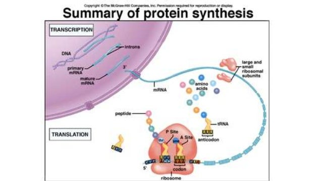 From rna to protein synthesis