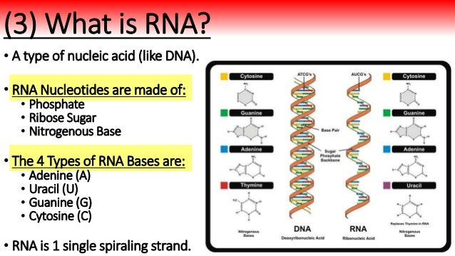 Biology Unit 6 Notes Rna Protein Synthesis