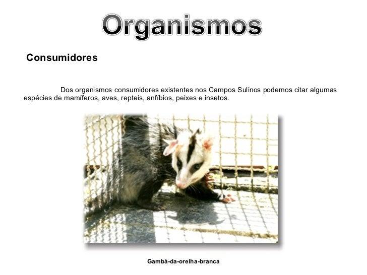<ul><li>Gambá-da-orelha-branca   </li></ul>Consumidores Dos organismos consumidores existentes nos Campos Sulinos podemos ...