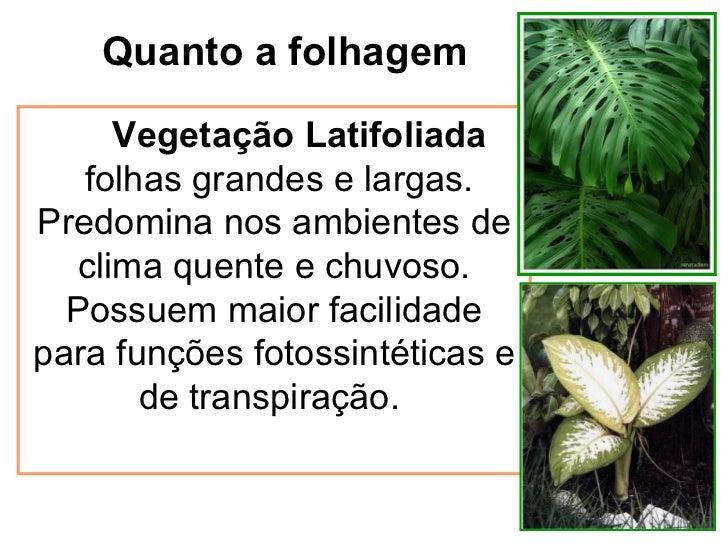 Quanto a folhagem Vegetação Latifoliada folhas grandes e largas. Predomina nos ambientes de clima quente e chuvoso. Possue...