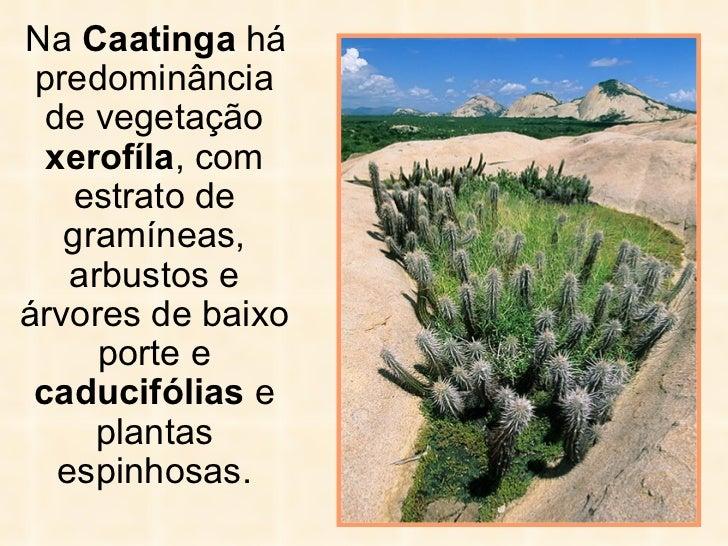<ul><li>Na  Caatinga  há predominância de vegetação  xerofíla , com estrato de gramíneas, arbustos   e árvores de baixo po...