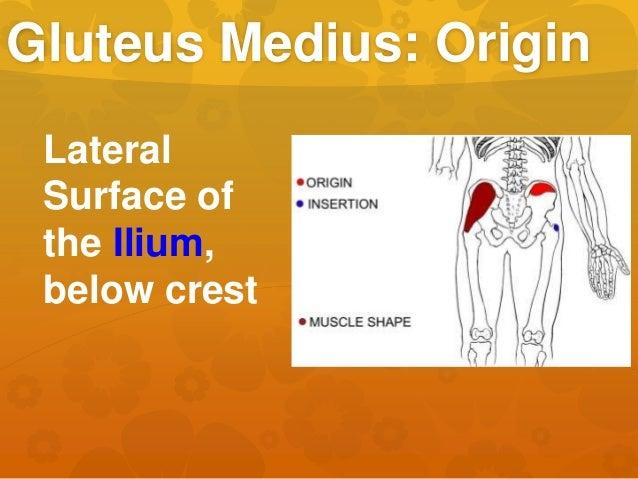 Gluteus Medius: Origin Lateral Surface of the Ilium, below crest