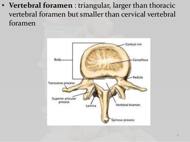 Vertebral Foramen – applecool.info