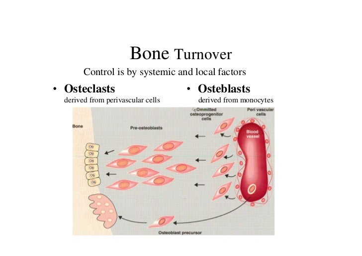 Bone Turnover        Control is by systemic and local factors• Osteclasts                        • Osteblasts  derived fro...