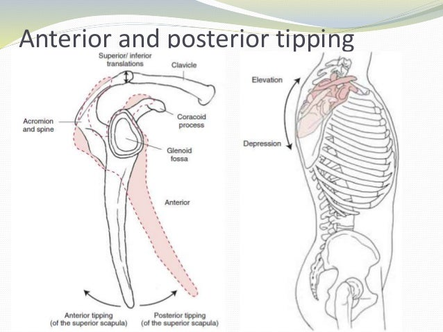 Scapular Posterior Tilt Muscles Image Mag