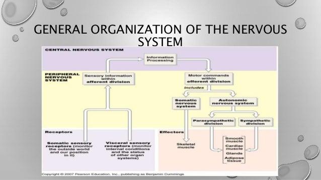 The general organization of the nervous system diagram complete nervous system rh slideshare net nervous system diagram mcgraw hill peripheral nervous system diagram ccuart Gallery