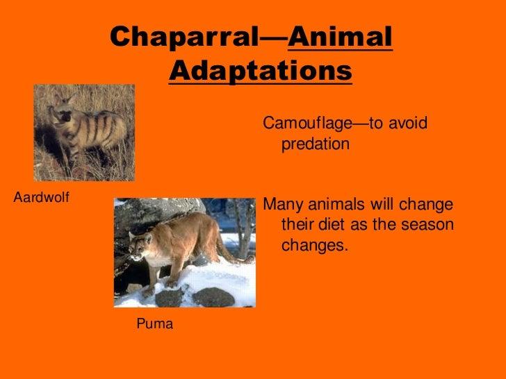puma animal adaptations