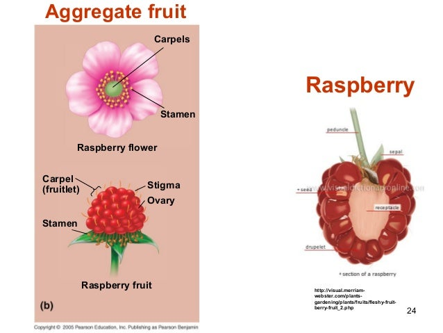 Diagrams Of Fruits With Seeds Product Wiring Diagrams