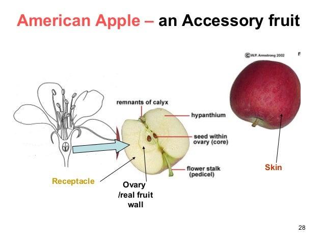 Bread Fruit Anatomy Diagram Circuit Connection Diagram
