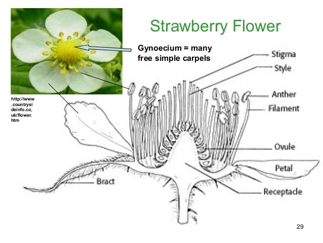 Biology M4 Flowers To Fruits And Seeds