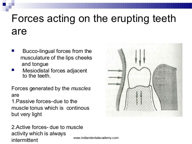 Forces acting on the erupting teeth are     Bucco-lingual forces from the musculature of the lips cheeks and tongue Mesi...