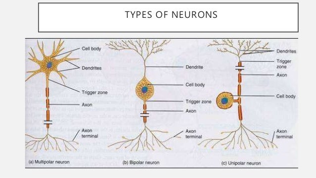 Classification of neurons acc to their soma 3 types of neurons ccuart Images