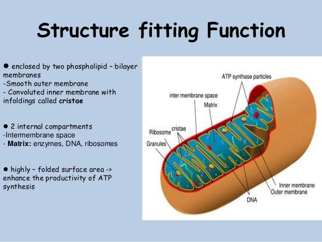 Biopresentation mitochondria [nguyen hong nga-2012190183]