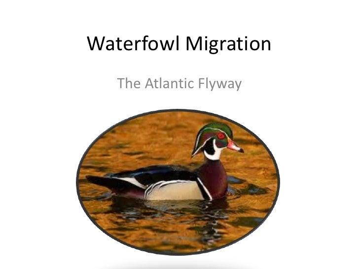 Waterfowl Migration <br />The Atlantic Flyway <br />