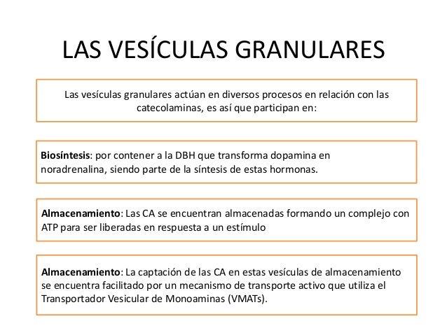 LAS VESÍCULAS GRANULARESLas vesículas granulares actúan en diversos procesos en relación con lascatecolaminas, es así que ...