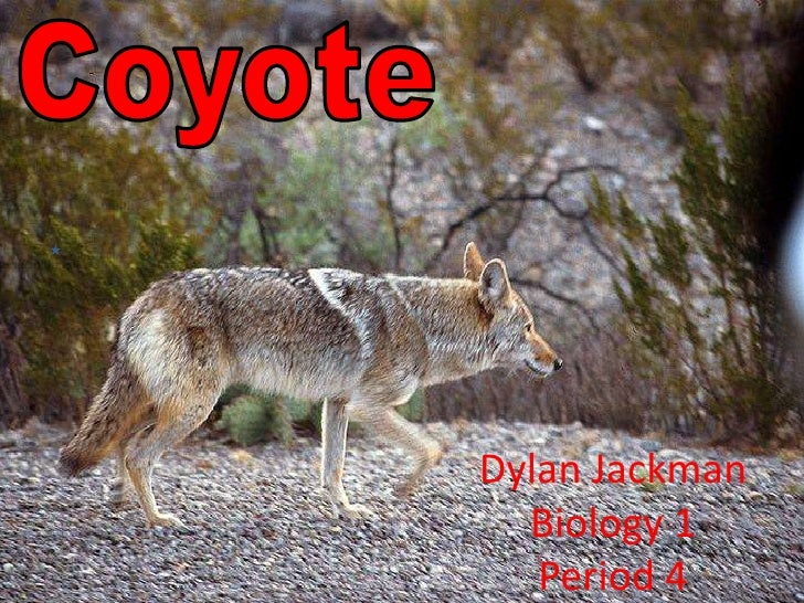 Coyote<br />Dylan Jackman Biology 1Period 4<br />
