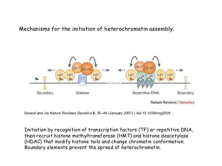 function of euchromatin