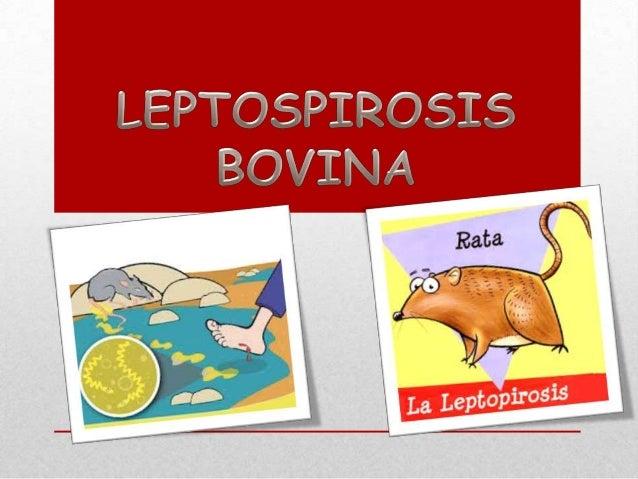 •  Enfermedad infecciosa con alta morbilidad y baja mortalidad en el rebaño.  •  •  Producida por serotipos de Leptospira ...