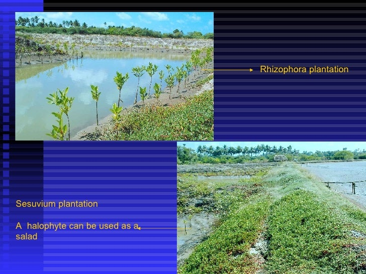 Rhizophora plantation Sesuvium plantation A  halophyte can be used as a salad
