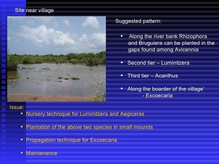Suggested pattern: Site near village <ul><li>Along the river bank Rhizophora </li></ul><ul><li>and Bruguiera can be plante...