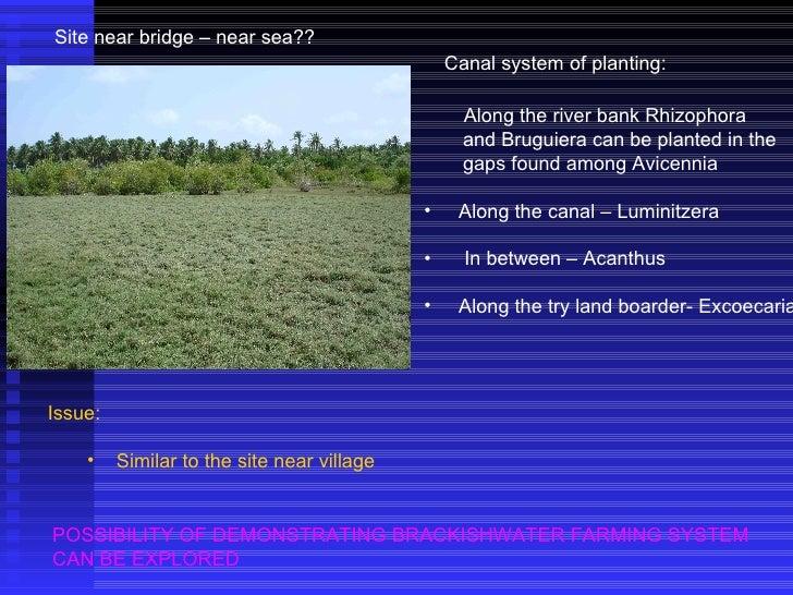 Site near bridge – near sea?? <ul><ul><li>Along the river bank Rhizophora </li></ul></ul><ul><li>and Bruguiera can be plan...