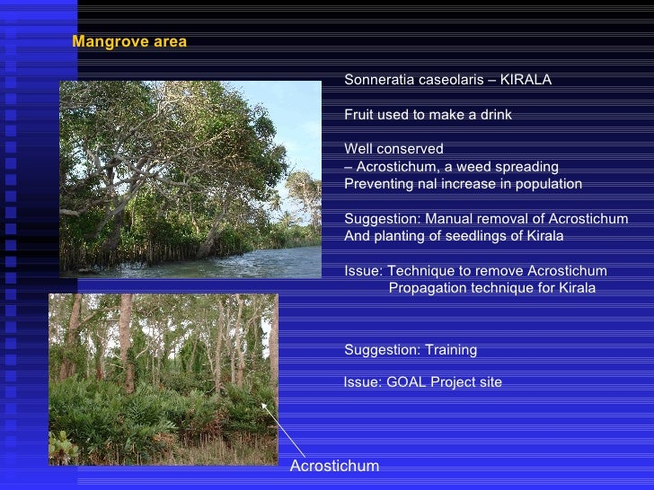 Mangrove area Sonneratia caseolaris – KIRALA Fruit used to make a drink Well conserved –  Acrostichum, a weed spreading Pr...