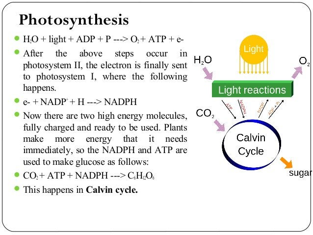 Calvin Cycle The Calvin cycle is the last step in photosynthesis. The purpose of the Calvin Cycle is to take the energy ...
