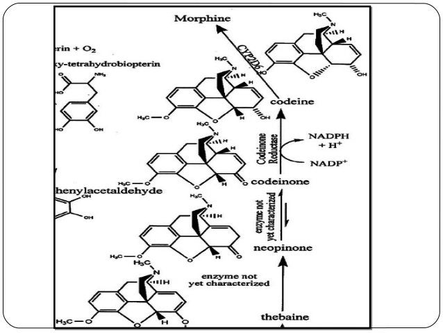 Biosynthetic pathways by pooja